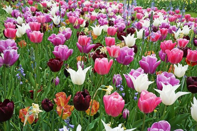 Tulips Are The Most Common And Perhaps Well Known Flower Of Netherlands Holland Its Culture Is Main Focus This Years Annual