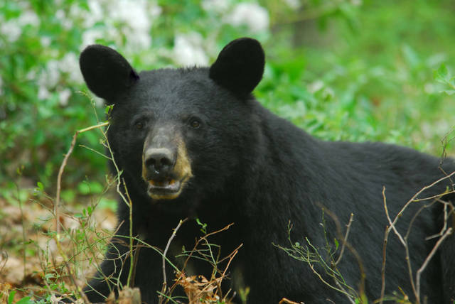An earlier start to the archery bear season could boost the harvest to 600 to 900, officials believe.