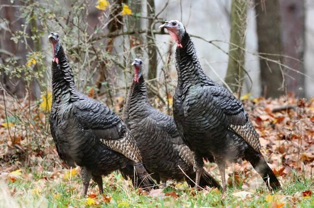 Spring Gobbler Season Pa 2020.Fall Turkey Season Opener Less Than A Week Away What You