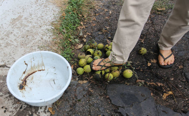 After gathering some fallen black walnuts, Therese Inverso steps on them to loosen the green husk, which she will then pull off. She usually wears gloves for that task, because black walnuts can stain your hands.