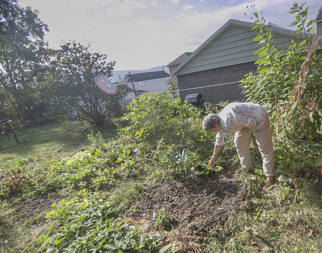 Therese Inverso tends to her unusual garden, where she is growing Jerusalem artichokes, horseradish, peanuts, okra and various other plants — and harvesting black walnuts that fall from her neighbor's tree.