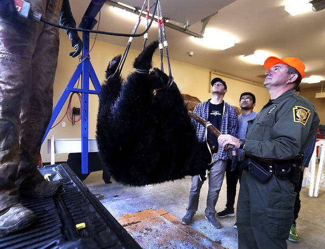 Pennsylvania Game Commission Information and Education Supervisor Bill Williams checks the weight of a black bear taken by Austin Schuler of Sweet Valley at the Bear Check Station in Lehman Township on Saturday. Schuler bagged the bear, a 115-pound female, in Noxen Township, Wyoming County.