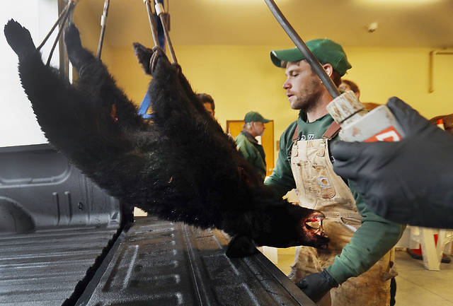 Pennsylvania Game Commission employee Kurt Yuhas weighs a black bear taken by Jonathon Berryman of Orange. The bear had a field-dressed weight of 94 pounds.