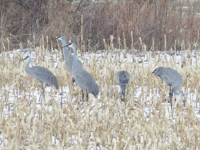 This crane family stayed in the State College area during the winter a few years ago. Most of the cranes in Pennsylvania are stopping over during migration, but some do stay for the entire winter.