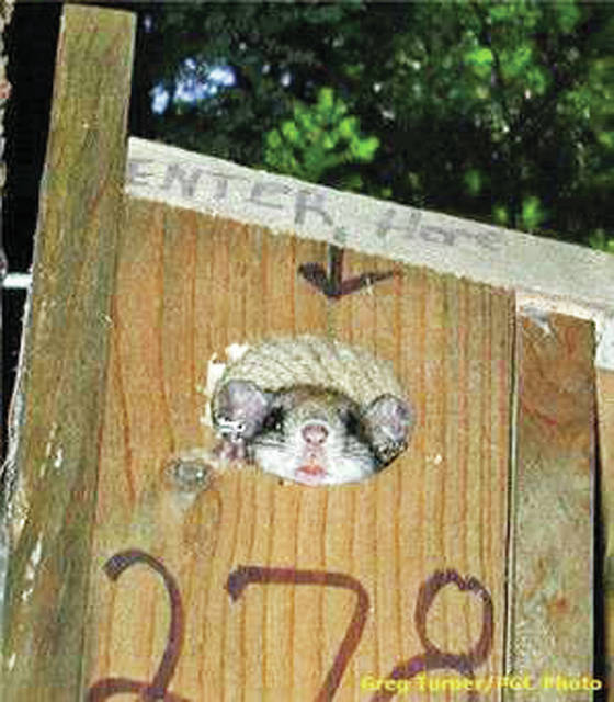 Northern flying squirrel in a nesting box. These artifical tree cavities decrease the risk of predation and increase the juvenile survival rate.