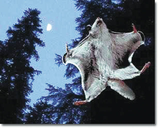 Northern flying squirrels are most active during the evening hours. They utilize skin flaps and a flattend tail to steer when gliding from tree to tree.
