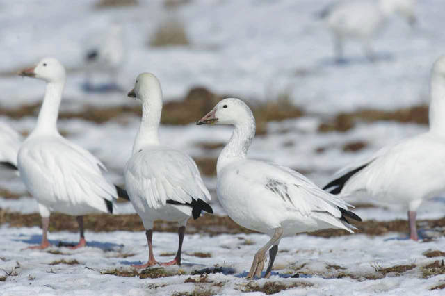 Snow Geese Stopping Over In Nepa Times Leader