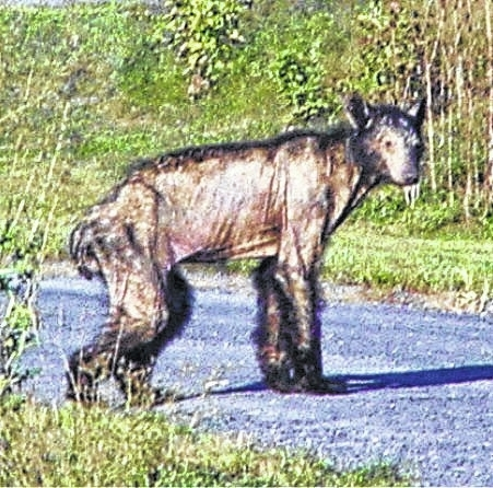study aims to find cause solution for mange in bears times leader