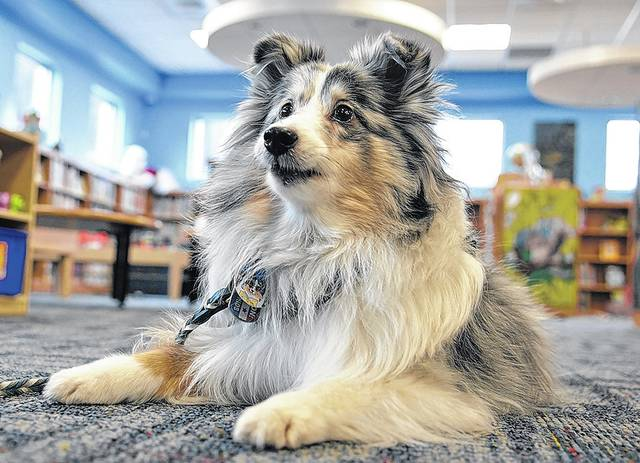 Therapy dog Angie, a nine-year-old Shetland Sheepdog, served as the enthusiastic listener Saturday at the Pittston Memorial Library during a Furry Tails Reading Partners event. Tony Callaio | For Times Leader