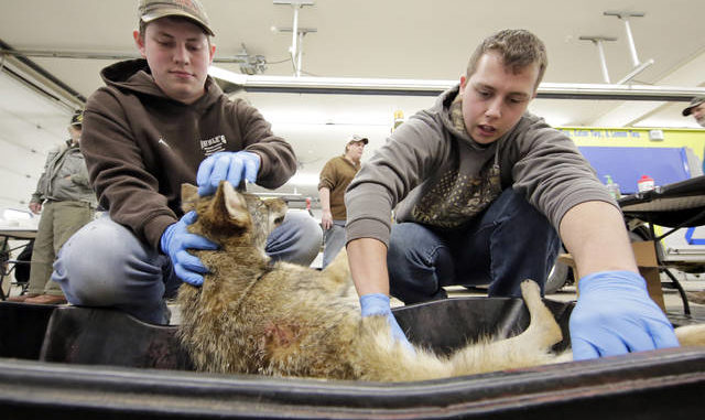 Hunters turn in nearly 40 coyotes during Tunkhannock hunt  7ebbe667f