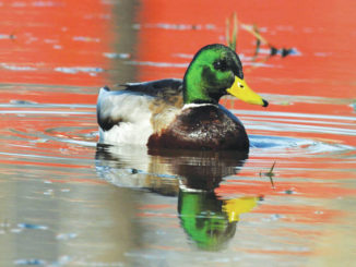 Outdoors: Murky waters for Pennsylvania's mallard numbers