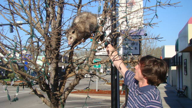 What do you do with a dead opossum in Wilkes-Barre?