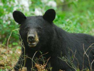 Pennsylvania closing in on record-breaking bear season