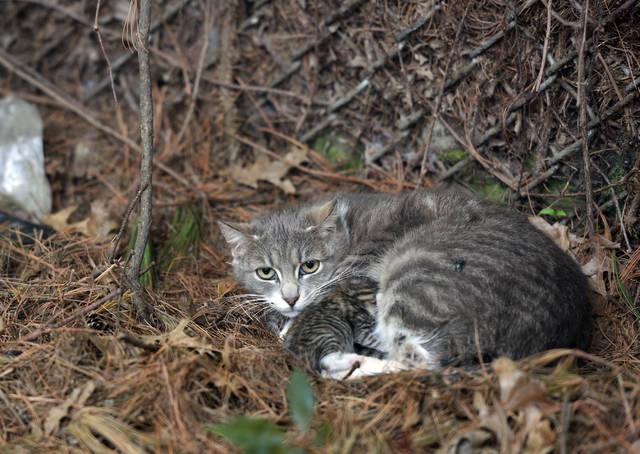 A feral cat is seen in Wilkes-Barre earlier this year in a file photo. This is not the cat that was euthanized, but an illustration from a story about the proliferation of feral cats in the city. Aimee Dilger | Times Leader file photo
