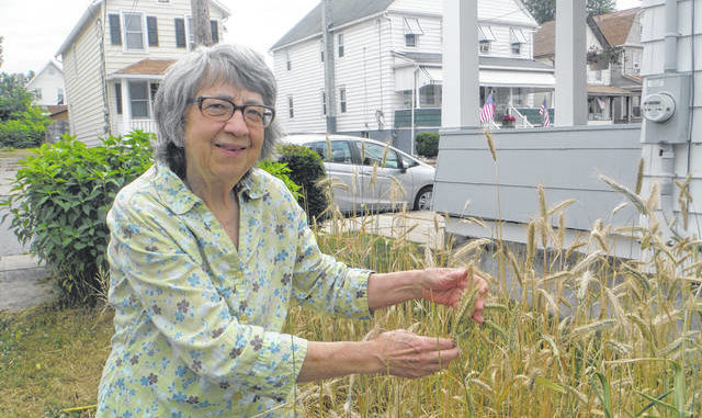 Therese Inverso shows off some rye that she is growing in her yard. She intends to thresh the chaff from the grain and use the grain for homemade rye bread. Mary Therese Biebel | Times Leader