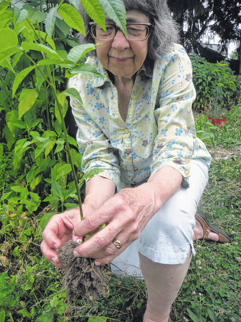 <p>A black walnut from a neighbor's tree fell into Therese Inverso's yard and a tiny new tree has sprouted from the nut. Inverso dug it up to show a visitor.</p>