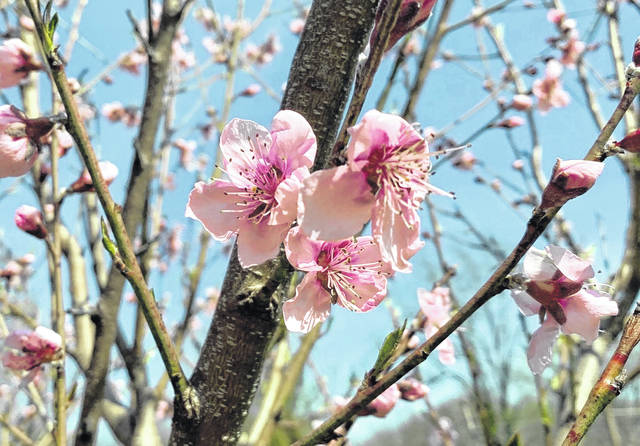 Peach blossoms are a welcome sight in early spring, so, for fruit, it's best to delay that show as long as possible by paying attention to microclimate.                                  AP photo