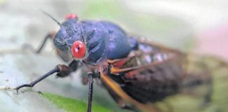 A periodical cicadas in the area clings to a leaf in Zelienople, Pa. The insects will come out of the ground once the temperature reaches optimum, then climb into trees and make a droning sound to attract mates to breed. Their activity will peak between mid-May and mid-June, and then die off about four weeks after first emerging.                                  AP file photo