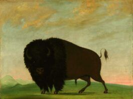 George Catlin's painting of 'Buffalo Bull, Grazing on the Prairie' will be a focal point of several events local artist Jan Lokuta has planned in honor of the founding of Yellowstone National Park.                                  Smithsonian American Art Museum