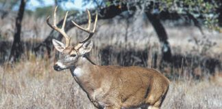 The Pennsylvania Insurance Fraud Prevention Authority sent out a media release this week noting that most deer-car accidents occur in the autumn and early winter, with the highest chances for an encounter with a deer between 6 p.m. and 9 p.m.                                  File photo